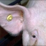 Con el chip se reconoce al cerdo y se raciona el alimento.