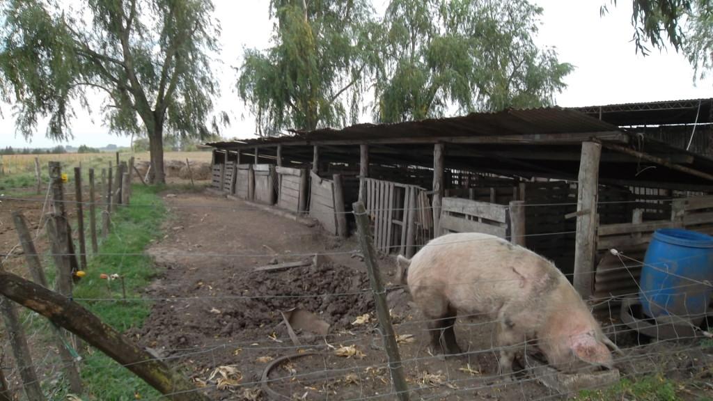 cerdos-a-campo